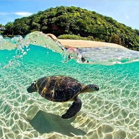 green turtle in punta mita